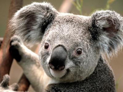 koala_400