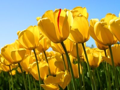 tulips_400